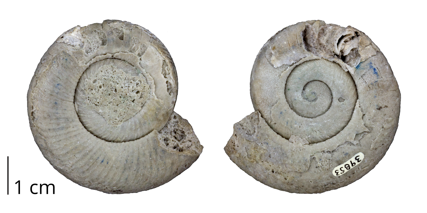 Fossil nautiloid cephalopod Graftonoceras graftonensis from the Silurian of Illinois.