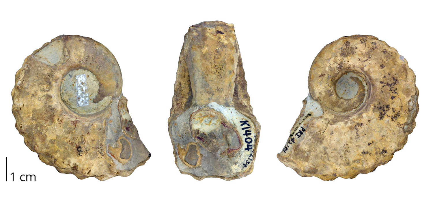 Fossil cephalopod Tainoceras monilifer from the Pennsylvanian Graford Formation of Palo Pinto County, Texas.