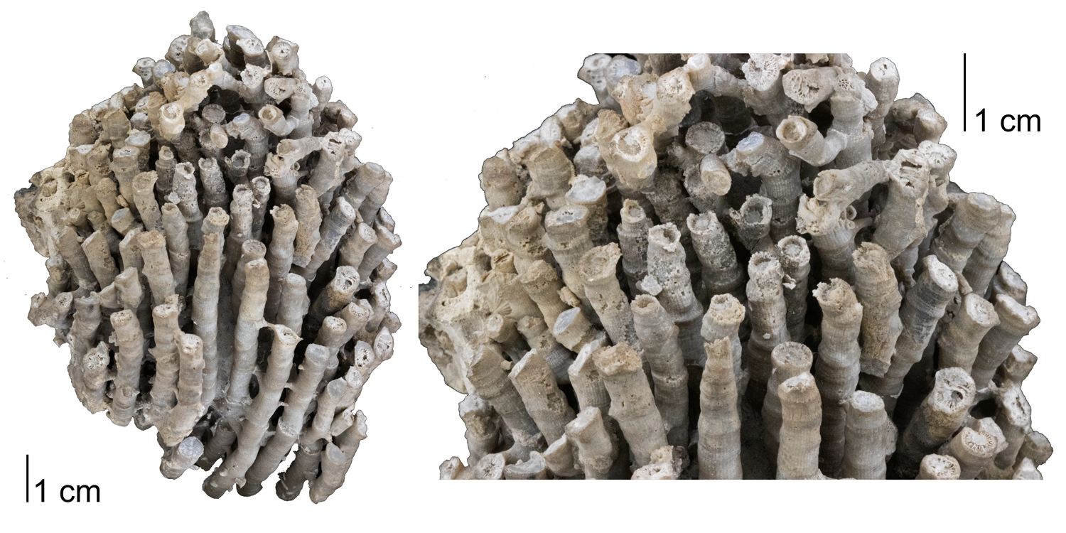 Fossil rugose coral Acinophyllum stramineum, from the Devonian Onondaga Limestone of Erie County, New York.
