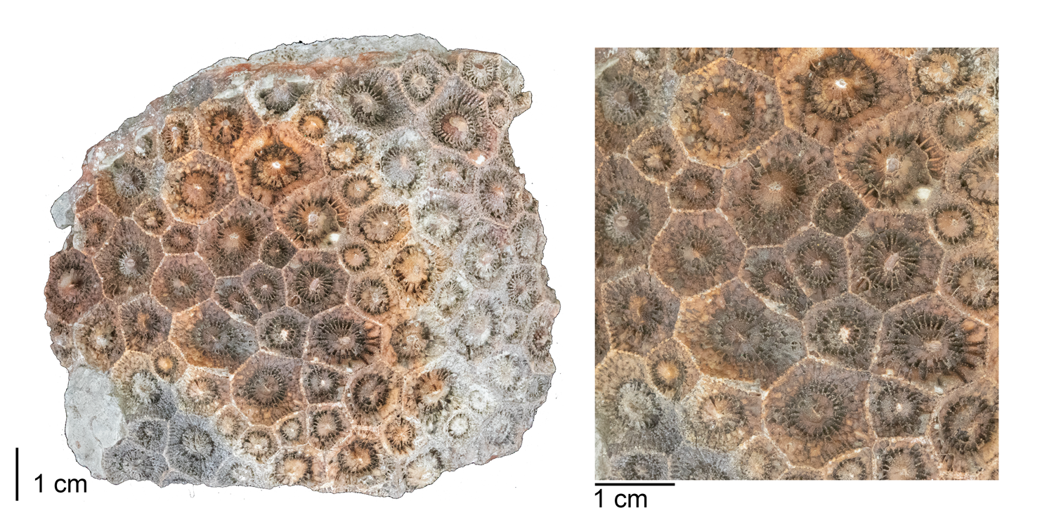 Fossil rugose coral Acrocyathus floriformis from the Mississippian St. Louis Limestone of Monroe County, Illinois