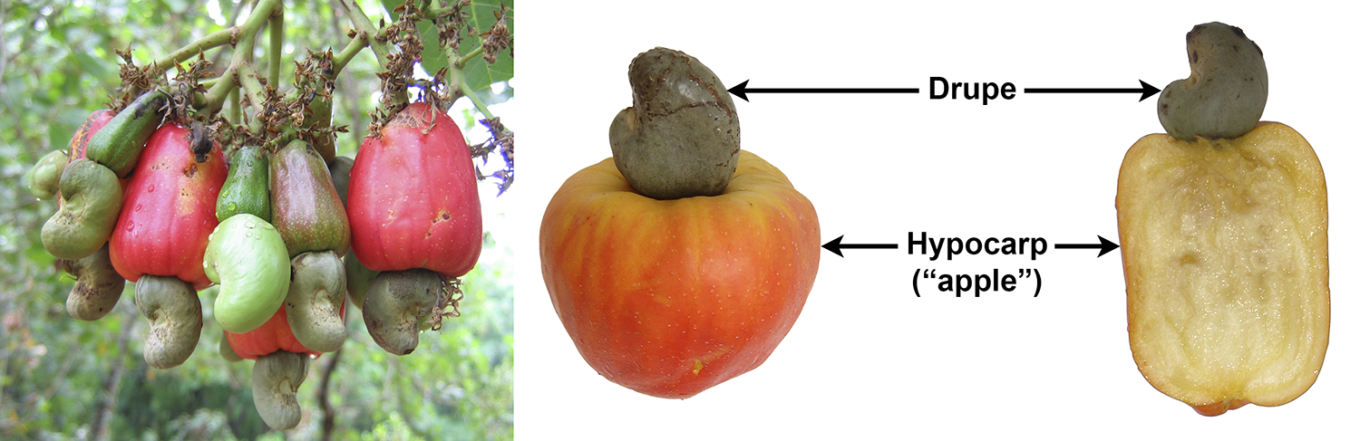 Cashews. Panel 1: Cashew fruits in tree. Panel 2: Whole cashew fruit and fruit with apple cut in longitudinal section.