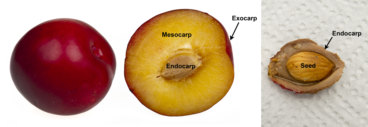 2-Panel Figure of drupes. Panel 1: Whole plum next to a plum sliced in half to show the three wall layers of a drupe. Panel 2: Peach pit containing a single seed.