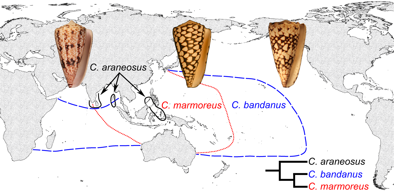 Differing geographical ranges of three closely-related species of cone snails. Conus marmoreus and Conus bandanus have planktotrophic development, while Conus araneosus has nonplanktotrophic development (data from Röckel et al. (1995) and Duda and Kohn (2005)).