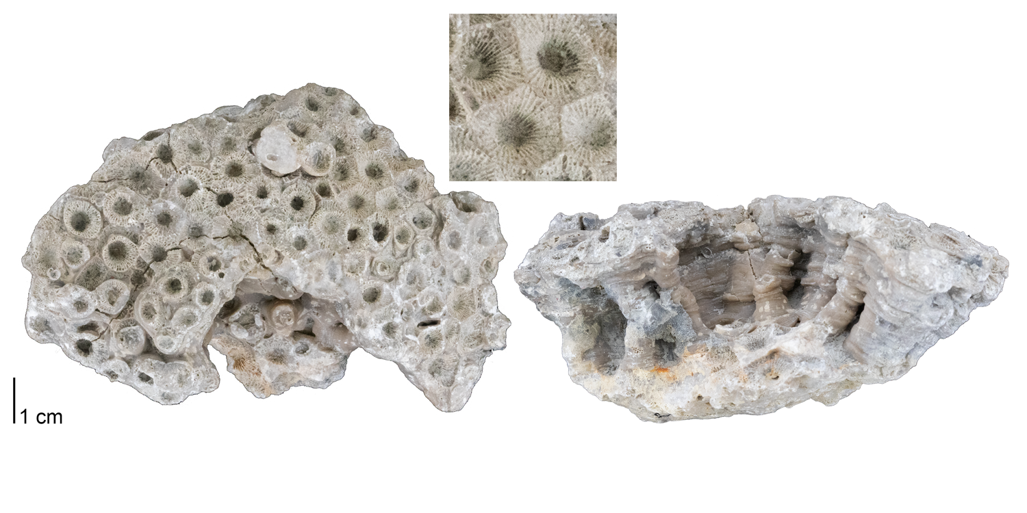 Fossil rugose coral Hexagonaria percarinata from the Middle Devonian of Presque Isle County, Michigan