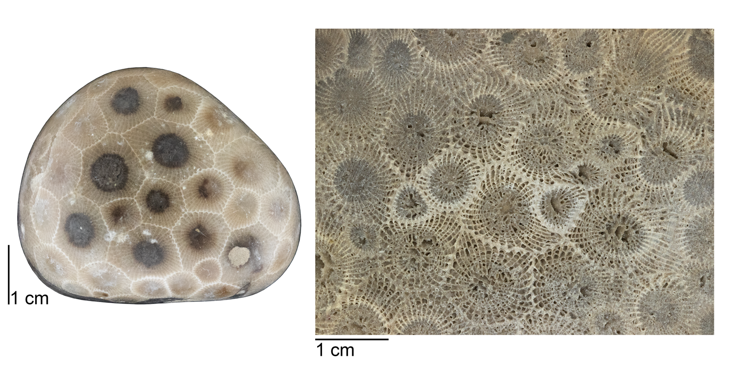 Left: A polished Petoskey stone. Right: An unpolished section of Petoskey stone