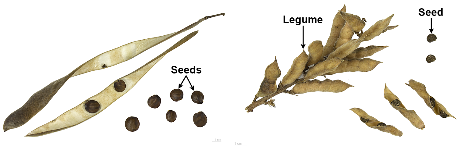 Two types of legumes: Right: Wisteria fruit and seeds; left: Lupine fruits and seeds.