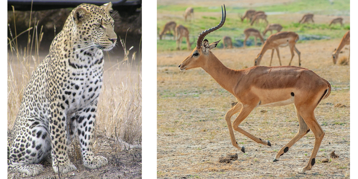 Left: the African leopard, Panthera pardus. Right: the impala, a type of antelope.