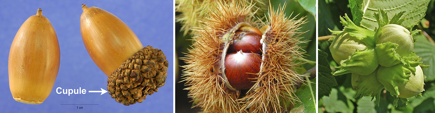 Nuts, left to right: acorns, sweet chestnuts, and hazelnuts.