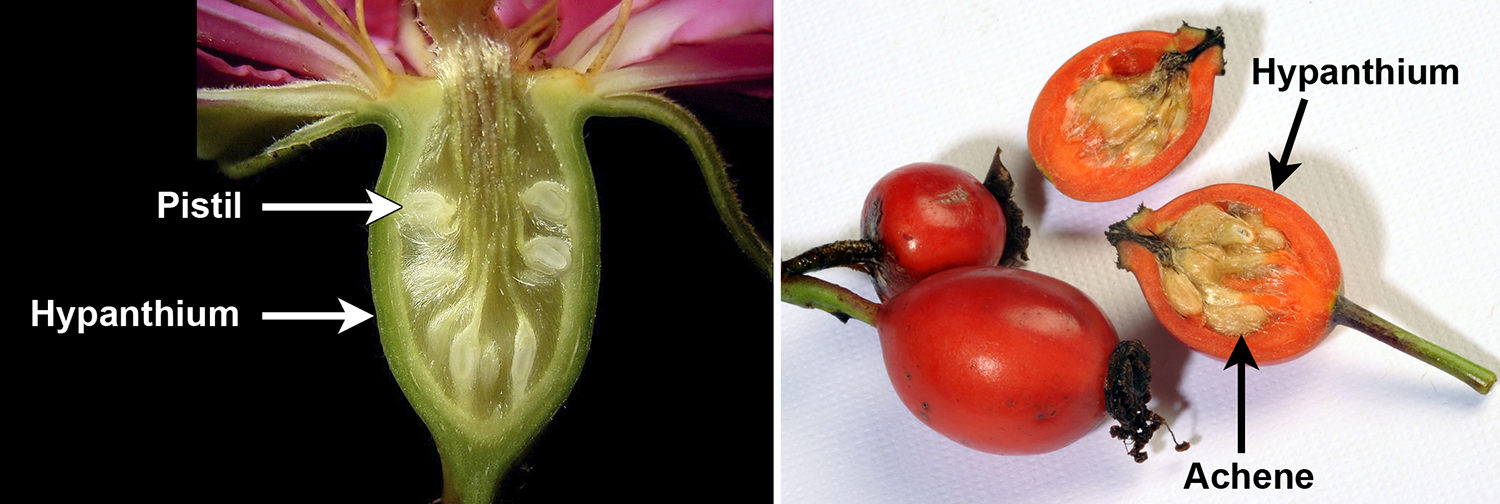 Comparison of the structure of a rose flower to a rose fruit.