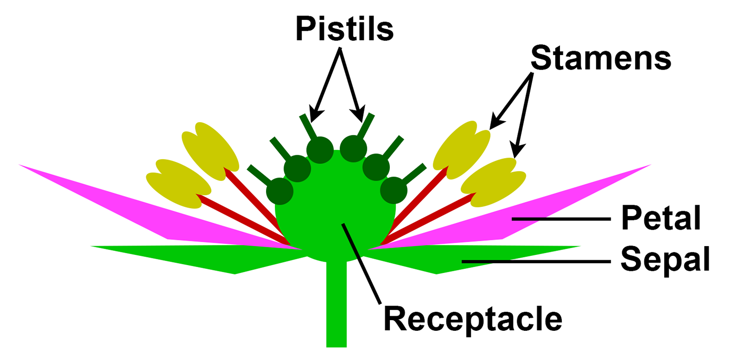Diagram showing the structure of a flower that will produce an aggregate fruit. This type of flower has more than one pistil.
