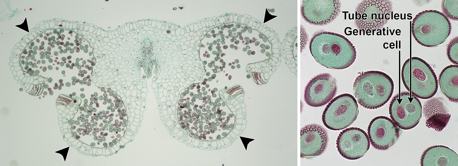 2-Panel image. Left: Dehisced anther with 2-celled pollen grains. Right: Detail of 2-celled pollen grains showing tube nucleus and generative cell.