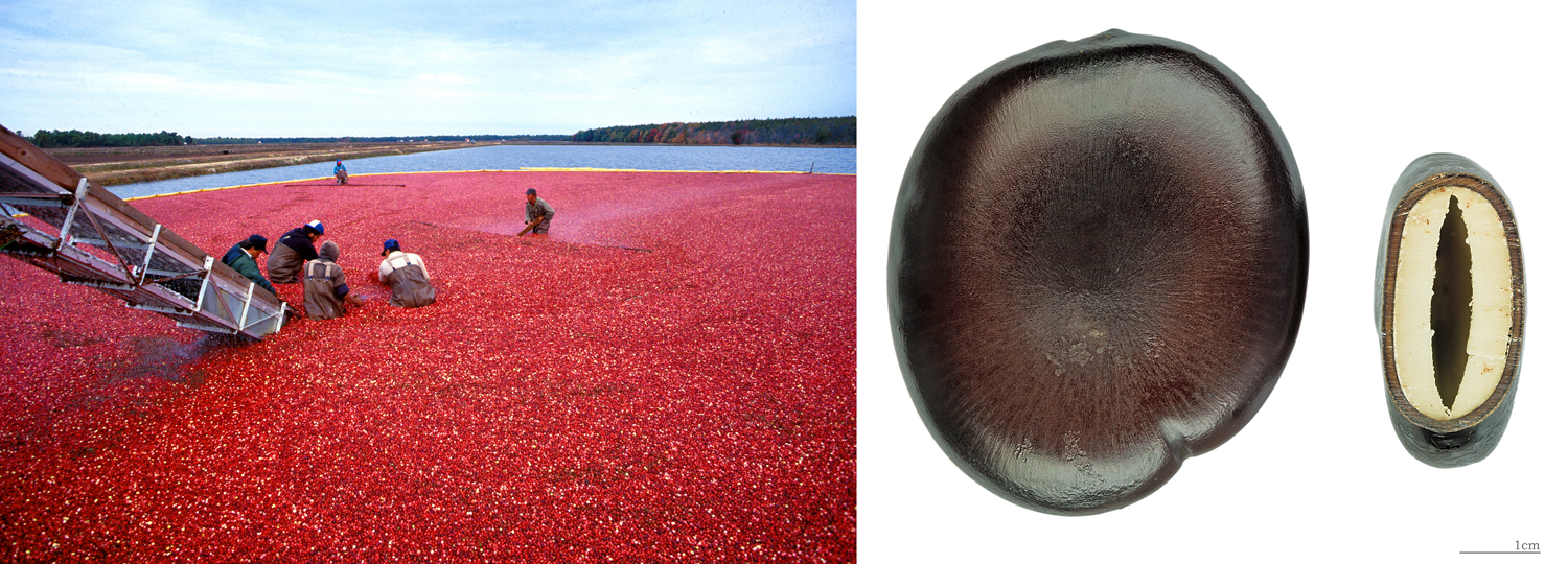 2-Panel figure showing buoyant fruits and seeds. Panel 1: Workers harvesting floating cranberry fruits. Panel 2: Box bean seeds.