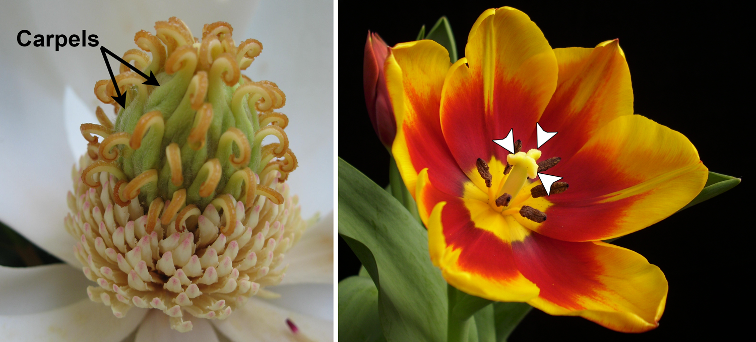 2-Panel figure. Panel 1: Center of Magnolia flower showing many separate carpels. Panel 2: Tulip flower with a pistil of three carpels as indicated by a 3-lobed stigma.