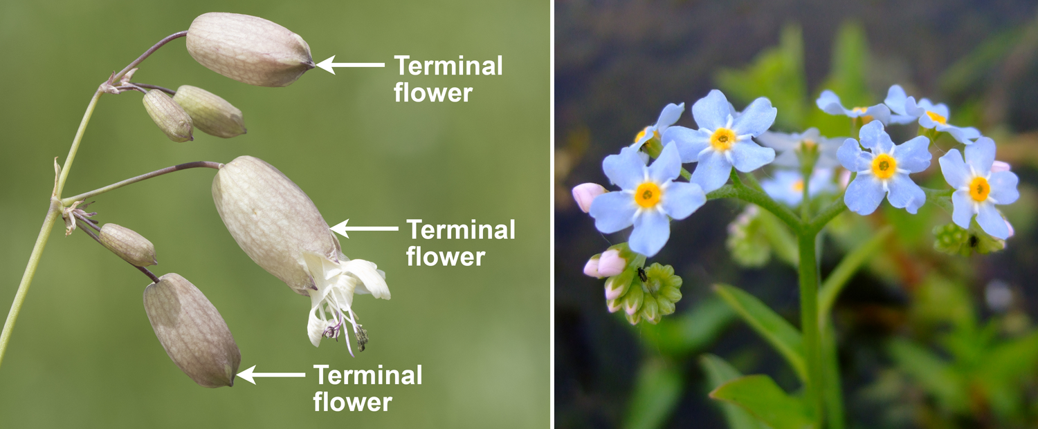 2-Panel figure. Panel 1: Bladder campion inflorescence with terminal flower at the end of each branch. Panel 2: Forget-me-not inflorescence, a curled scorpioid cyme.
