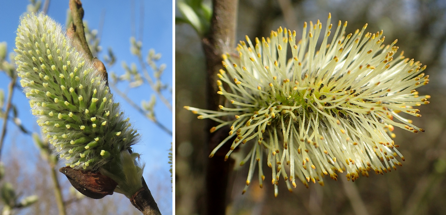 2-Panel figure of gray willow inflorescences. Panel 1: Carpellate flowers. Panel 2: Staminate flowers.