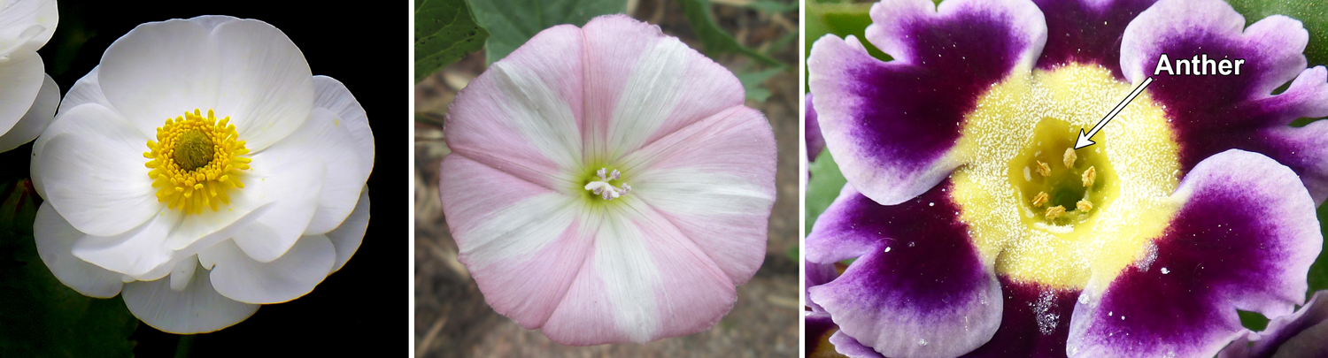 3-Panel figure, each panel showing one flower. Panel 1: Mount Cook buttercup showing free and distinct parts; Panel 2: Field bindweed with connate petals. Panel 3: Primrose with stamens adnate to corolla.