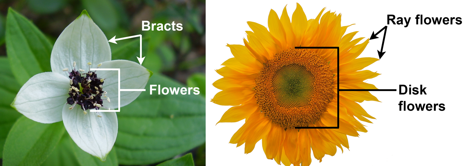 2-Panel figure showing inflorescences that look like flowers: Panel 1: Bunchberry. Panel 2: Sunflower.