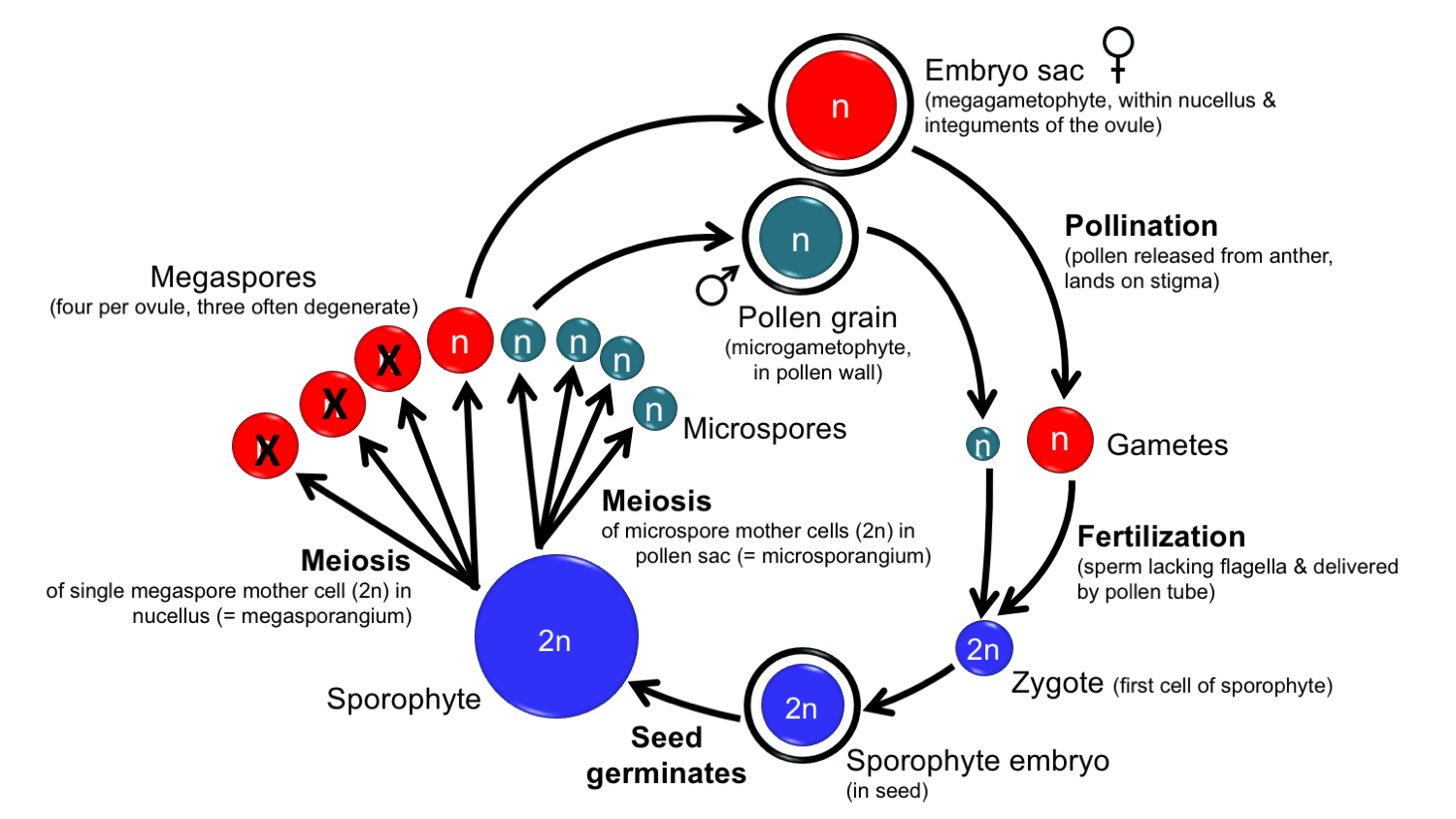 Diagram showing the steps in the angiosperm life cycle
