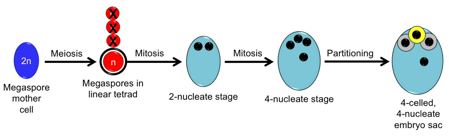 Diagram depicting development of the Nuphar/Schisandra-type embryo sac from megaspore mother cell to 4-nucleate, 4-celled stage.