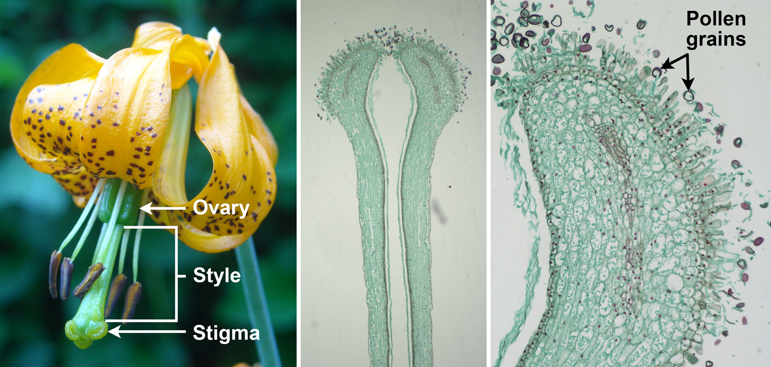 3-Panel figure showing the parts of carpel or pistil. Panel 1: Tiger lily flower with stigma, style, and ovary labelled. Panel 2: Long section of a lily style and stigma. Panel 3: Long section of a stigma upon which pollen grains have landed.