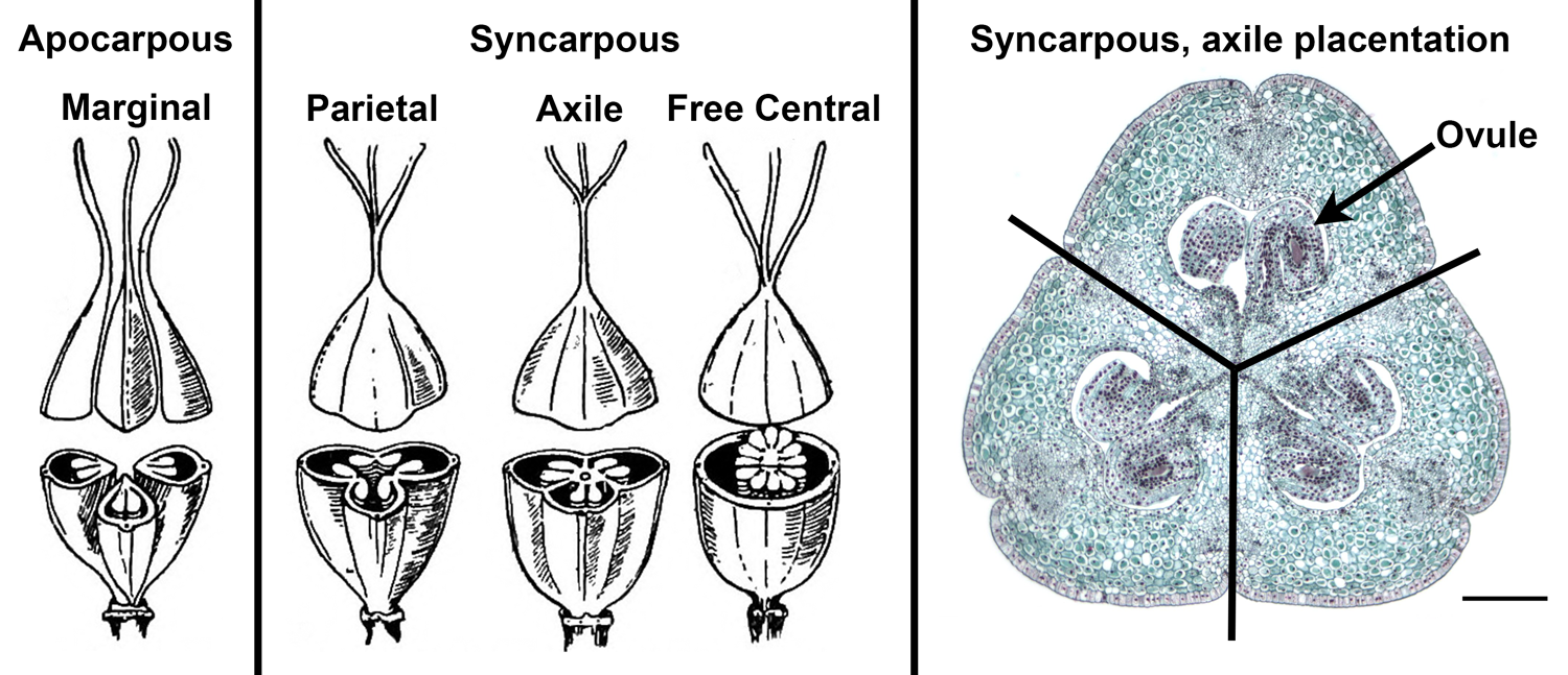 Image with illustrations of carpel fusion (unfused vs. fused carpels) and different types of placentation (arrangement of ovules in the ovary).