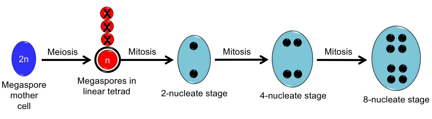Diagram showing development of the Polygonum-type embryo sac from megaspore mother cell to 8-nucleate stage