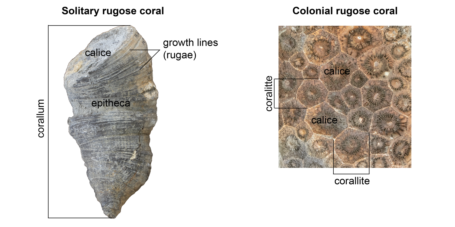 Major features of solitary and colonial rugose corals; labeled features include a corallum, coralittes, epitheca, calices, and growth lines.