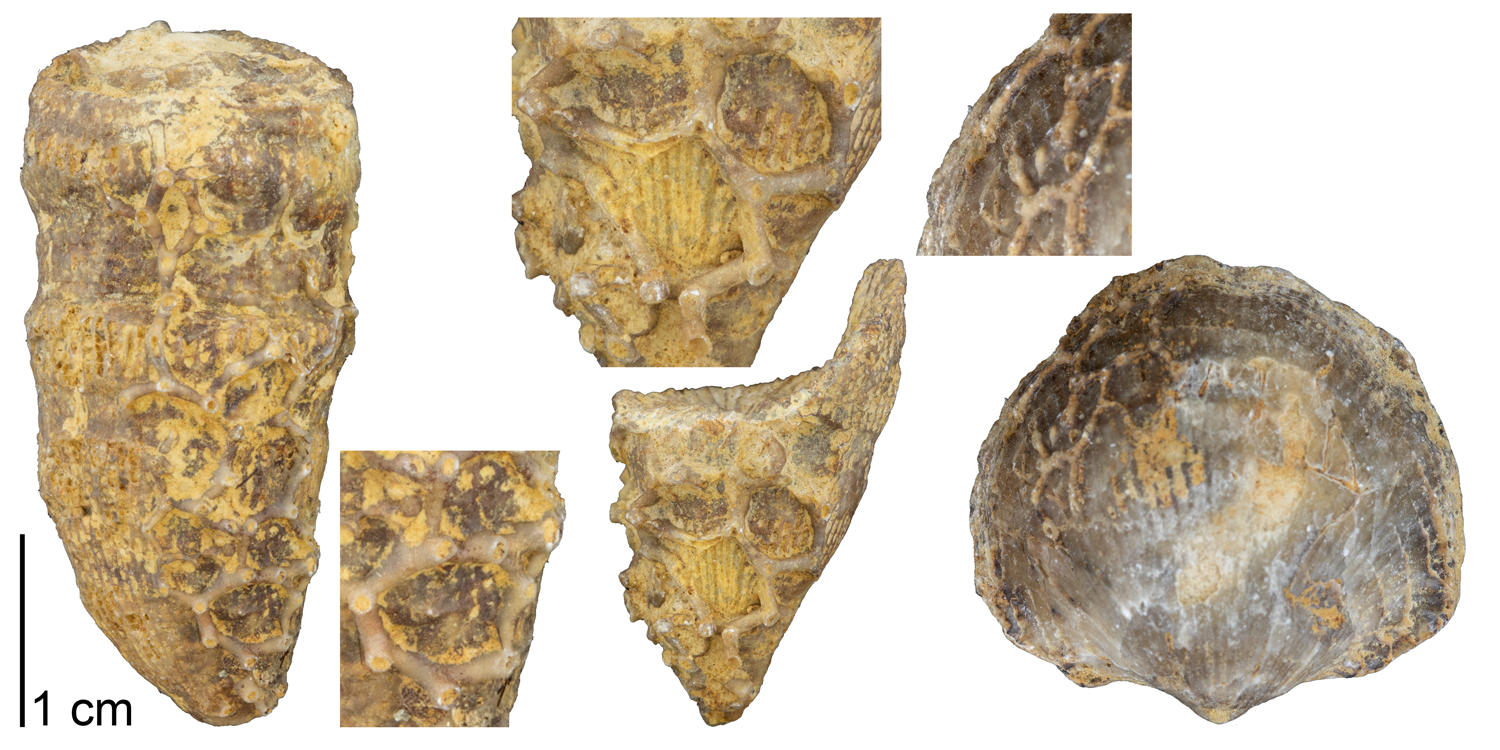 Fossil tabulate coral Aulopora saxivadum from the Devonian Hackberry Formation of Rockford, Iowa