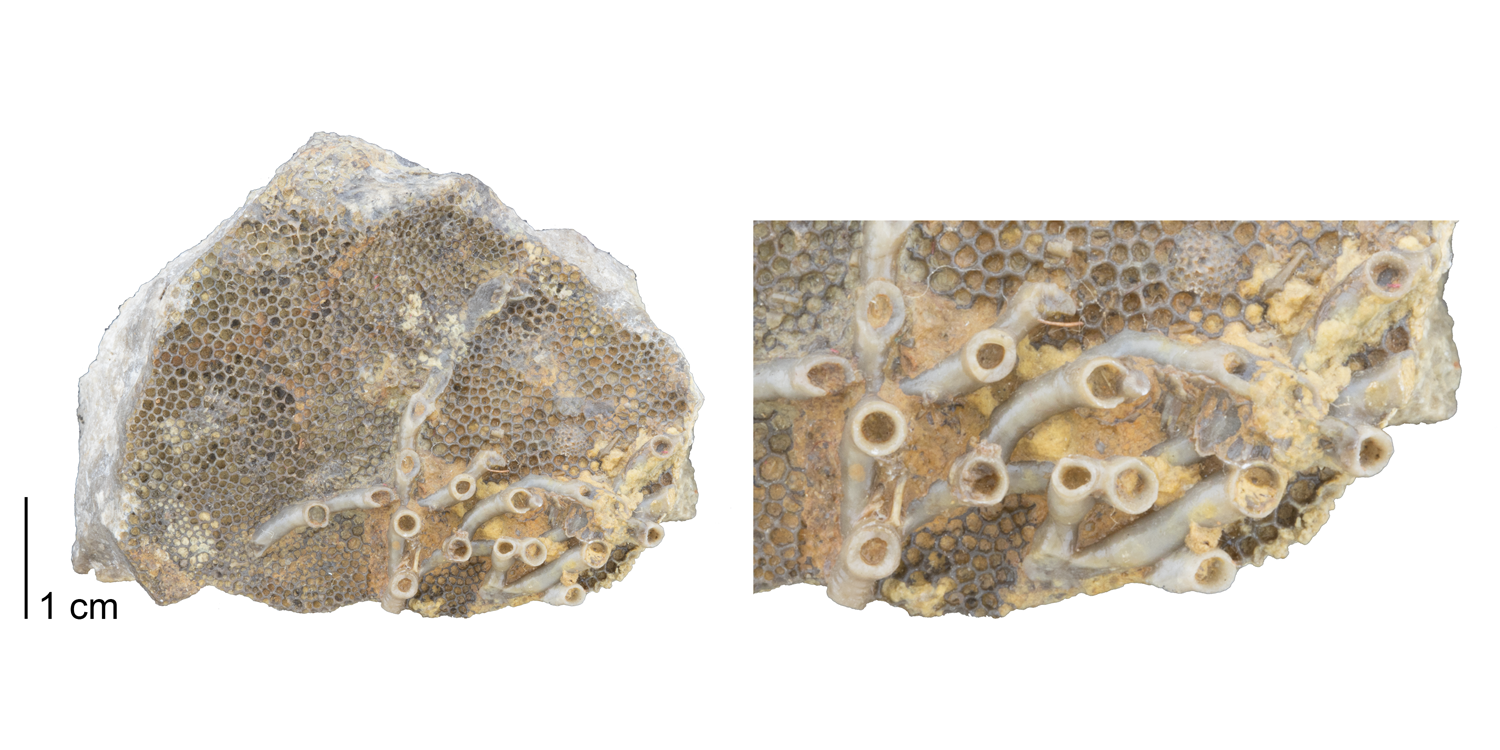 Fossil tabulate coral Aulopora sp. encrusting upon Favosites sp. Fossil is from the Devonian Ludlowville Fm. of East Bethany, New YorkFossil tabulate coral