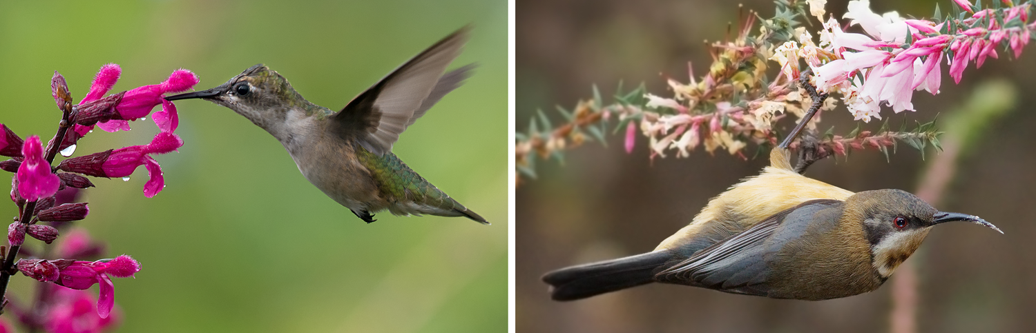 2-panel figure showing bird pollination. Panel 1: Hummingbird feeding on a pink flower. Panel 2: Honeyeater feeding on pink flowers.