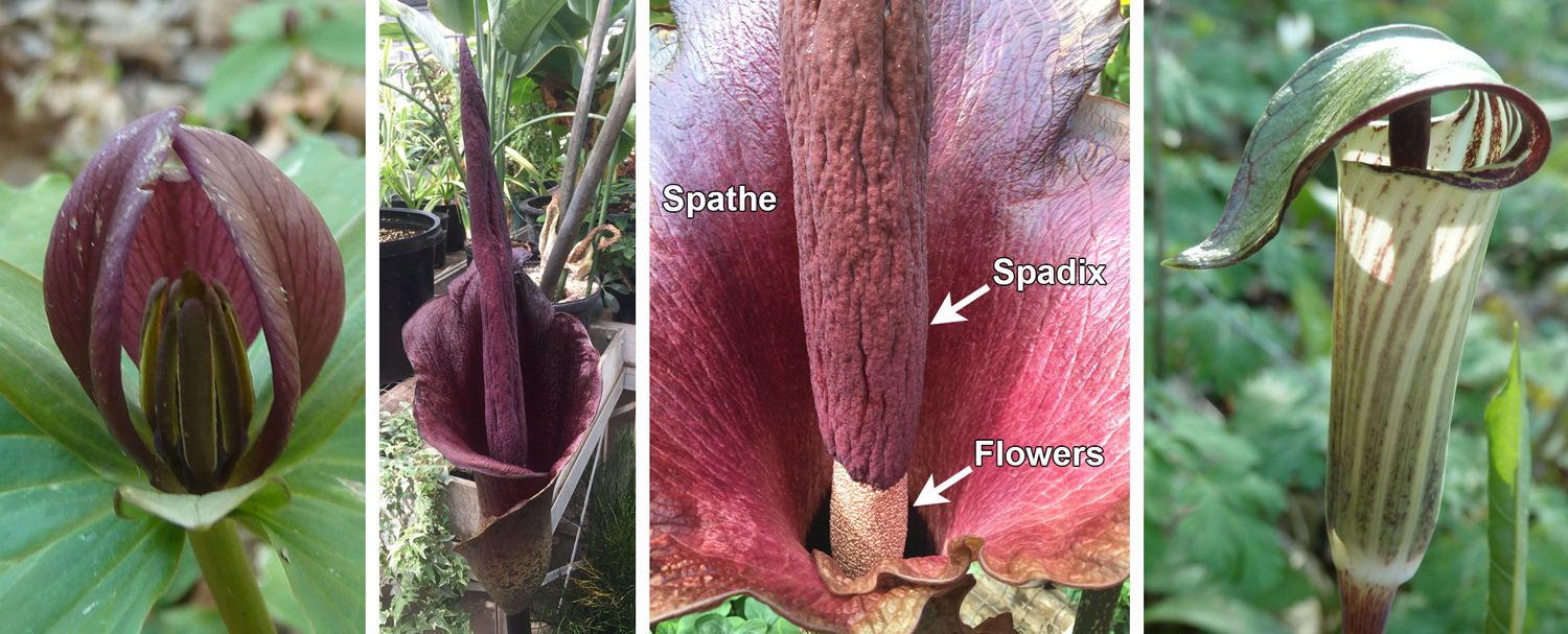 4-Panel figure of carrion and fungus mimicking flowers, left to right: toadshade, konjac (two pictures), and jack-in-the-pulpit.