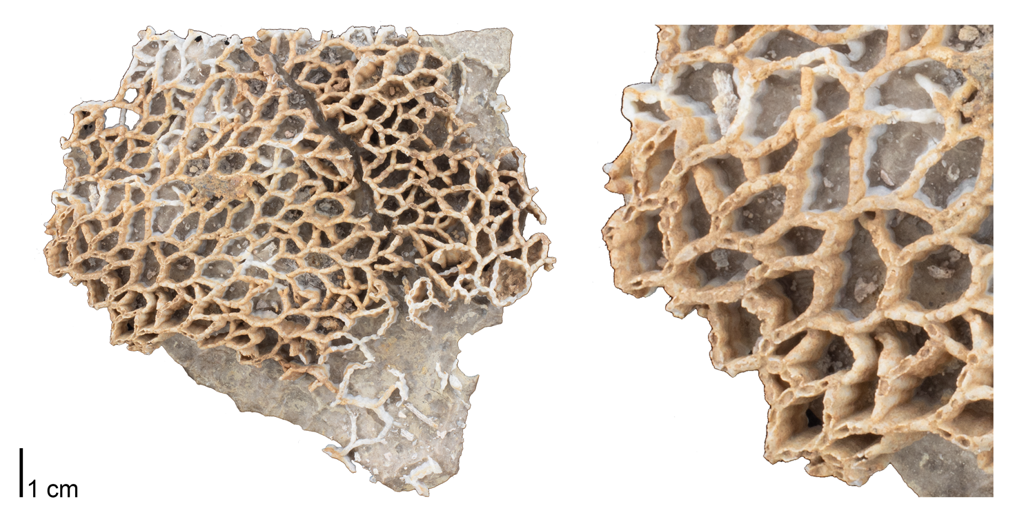 Fossil tabulate coral Catenipora micropora from the Silurian of Jefferson County, Kentucky