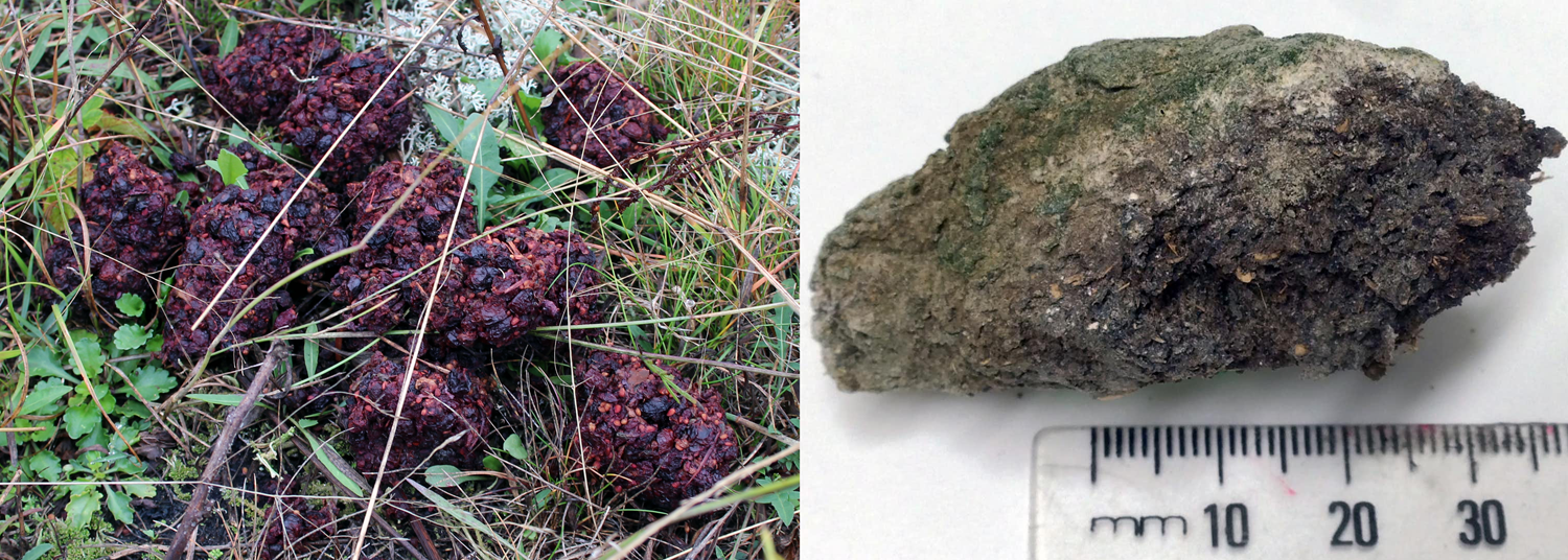 2-Panel figure: Left: Modern bear feces with seeds and bits of fruits. Right: Coprolite from an extinct moa.
