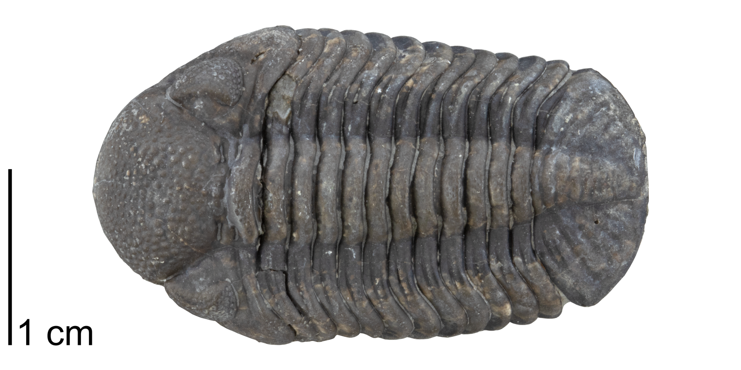 Eldredgeops (or, Phacops) rana from the Devonian Ludlowville Formation of Genesee County, New York (PRI 49811). Specimen is from the collections of the Paleontological Research Institution, Ithaca, New York.