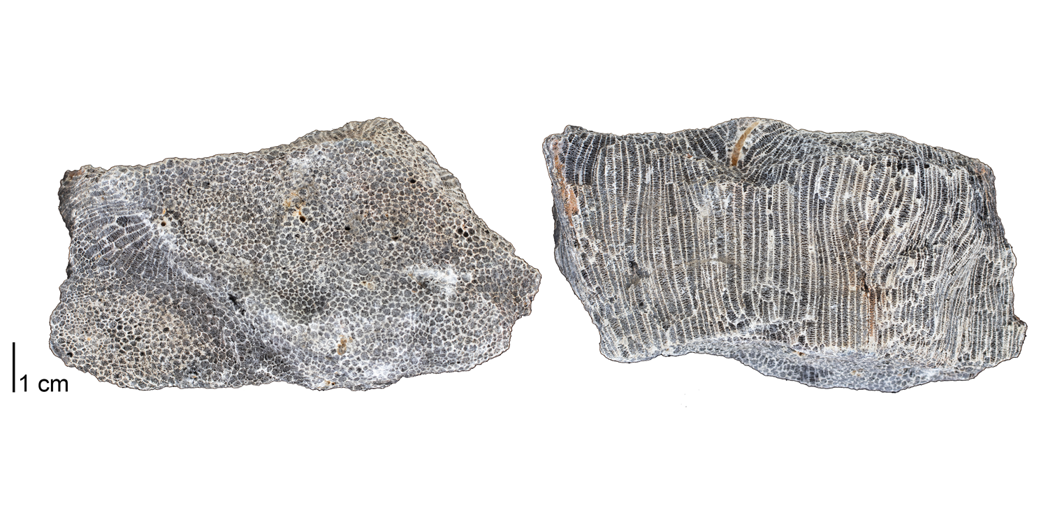 Fossil tabulate coral Emmonsia emmonsii from the Devonian Onondaga Limestone of Genesee County, New York