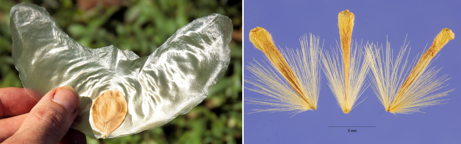 2-Panel figure: Left: Large, winged gliding seed of Javan cucumber. Right: Achenes of American sycamore with tufts of hairs.