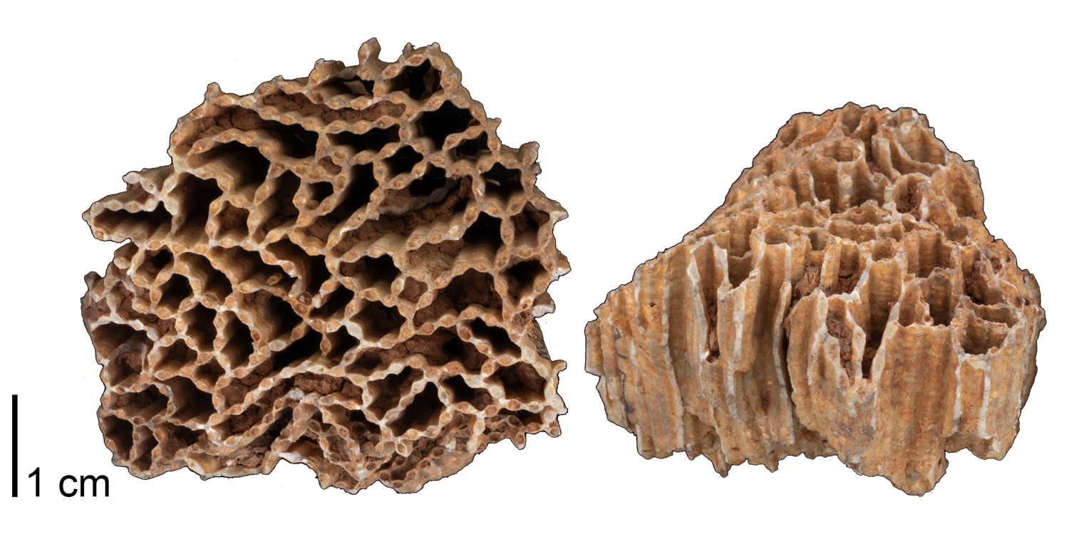 Fossil tabulate coral Halysites catenularia from the Silurian Niagara Group of Jefferson County, Kentucky