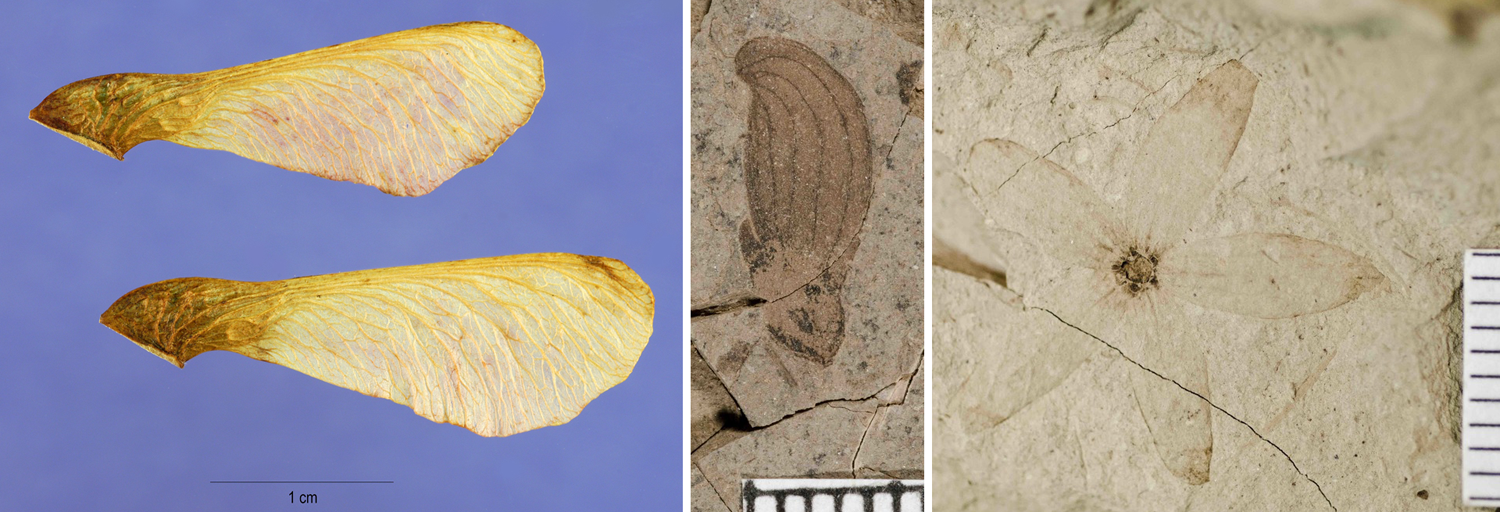 3-Panel figure showing winged fruits. Panel 1: Winged mericarps of Amur maple. Panel 2. Winged fruit of an extinct member of the elm family. Panel 3. Extinct, multi-winged helicopter fruit.