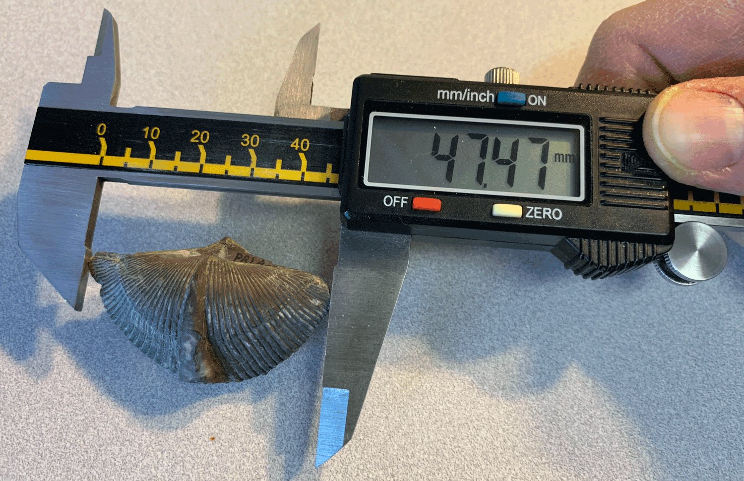 Example of a measurement being collected from a specimen of the brachiopod Mediospirifer audaculus using a digital calipers. Specimen is from the Middle Devonian Moscow Formation of Livingston County, New York (PRI 76830).