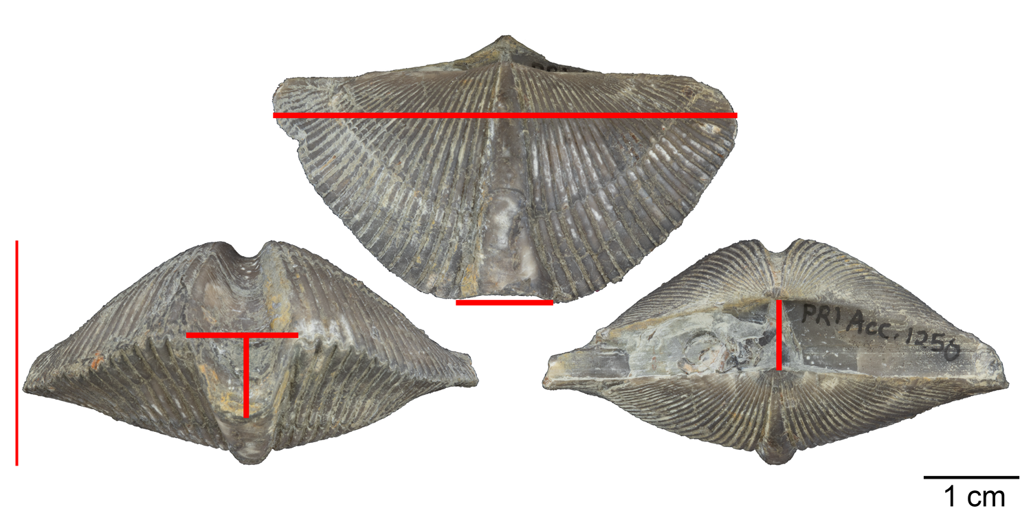 Examples of morphological measurements (red lines) collected from specimens of the brachiopod Mediospirifer audaculus as part of a study of stasis by Bruce Lieberman et al. (1995). Specimen shown is from the Middle Devonian Moscow Formation of Livingston County, New York (PRI 76830).