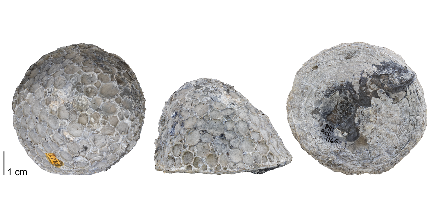 Fossil tabulate coral Pleurodictyum americanum from the Devonian Moscow Formation of Ontario County, New York