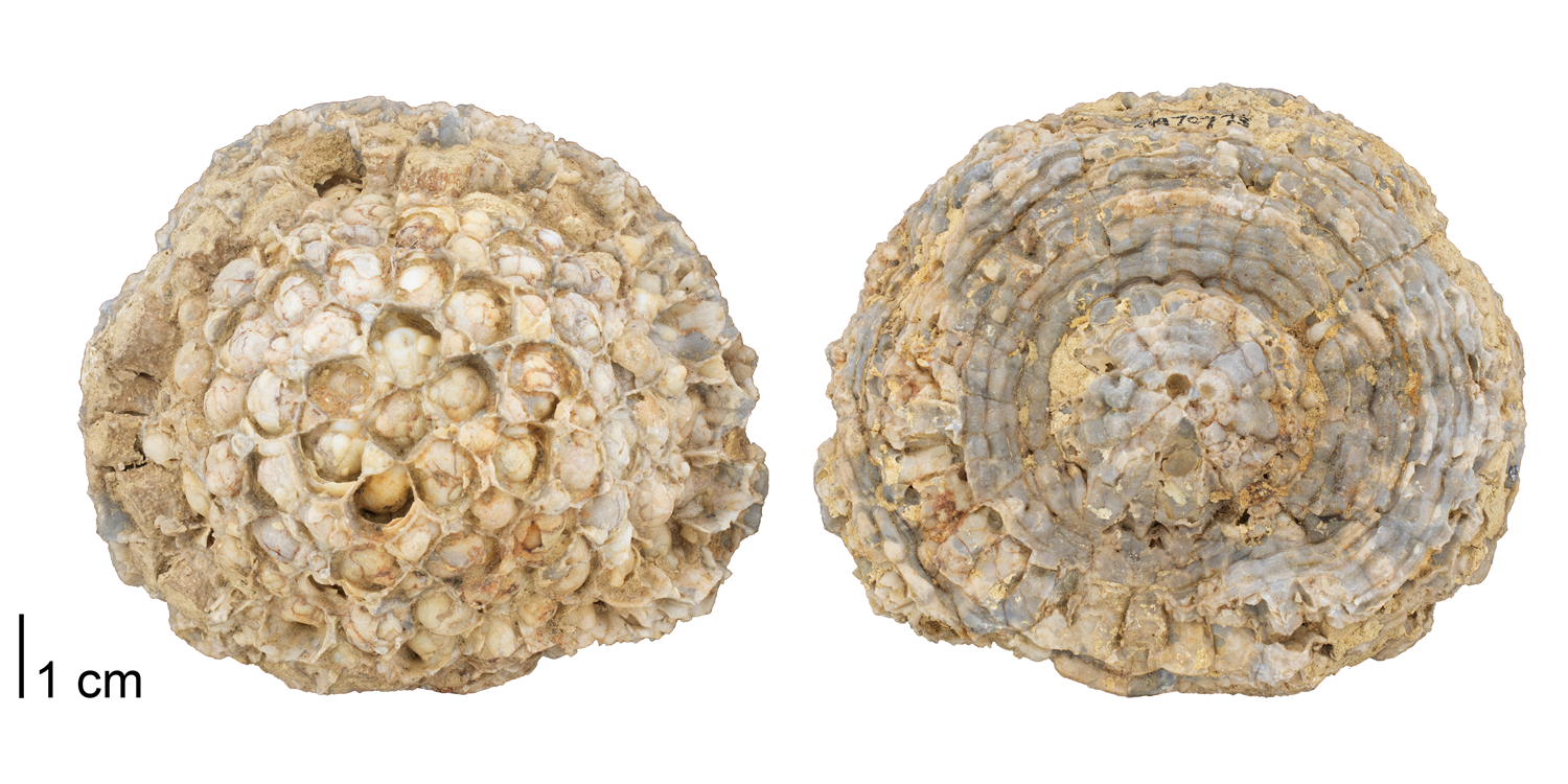 Fossil tabulate coral Pleurodictyum sp. from the Devonian Onondaga Limestone of Ontario, Canada (PRI 70773). Specimen is from the collections of the Paleontological Research Institution, Ithaca, New York