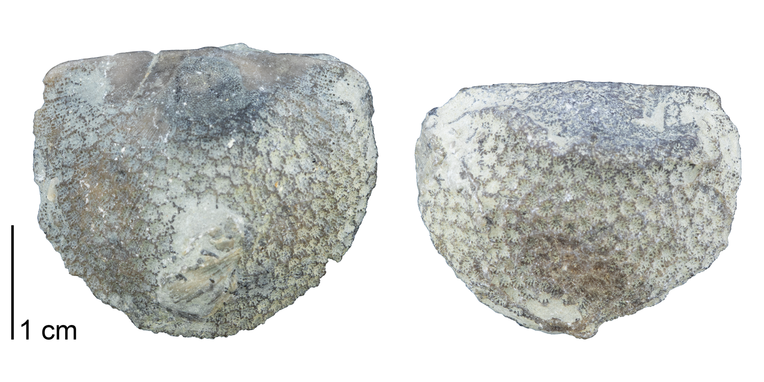 Fossil tabulate coral Protarea richmondensis encrusting upon brachiopod specimens. Fossils are from the Ordovician Richmond Group of Oxford, Ohio