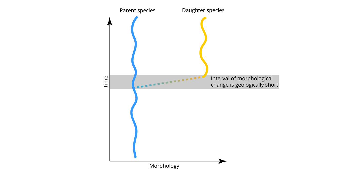 Eldredge and Gould's model of punctuated equilibrium. Note that the interval of speciation (and morphological change) is geologically short (or, punctuated). After species originate, they do not change significantly (i.e., equilibrium or stasis).