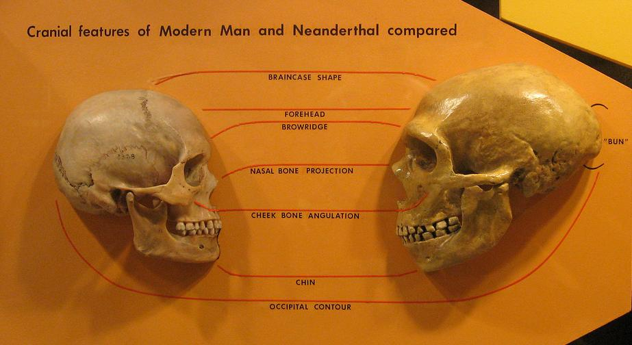 Photograph showing a comparison of the skulls of Homo sapiens and Homo neanderthalensis.