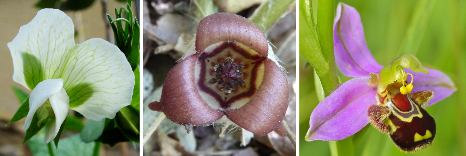 3-panel figure of self-pollinating flowers, left to right: garden pea, wild ginger, and bee orchid.