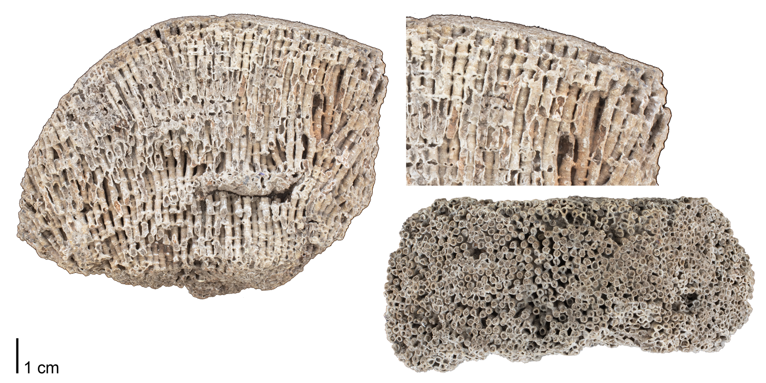 Fossil tabulate coral Syringopora geniculata from the Lower Carboniferous (Mississippian) of Derbyshire, England