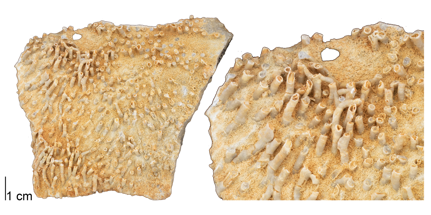 Fossil tabulate coral Syringopora hisingeri from the Devonian of Logan County, Ohio