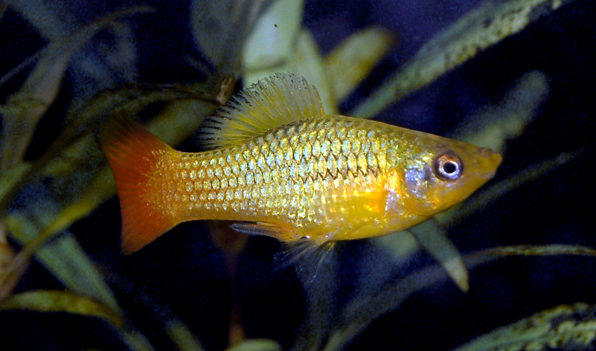 A male of the variatus platy (Xiphophorus variatus), which lacks a sword tail.