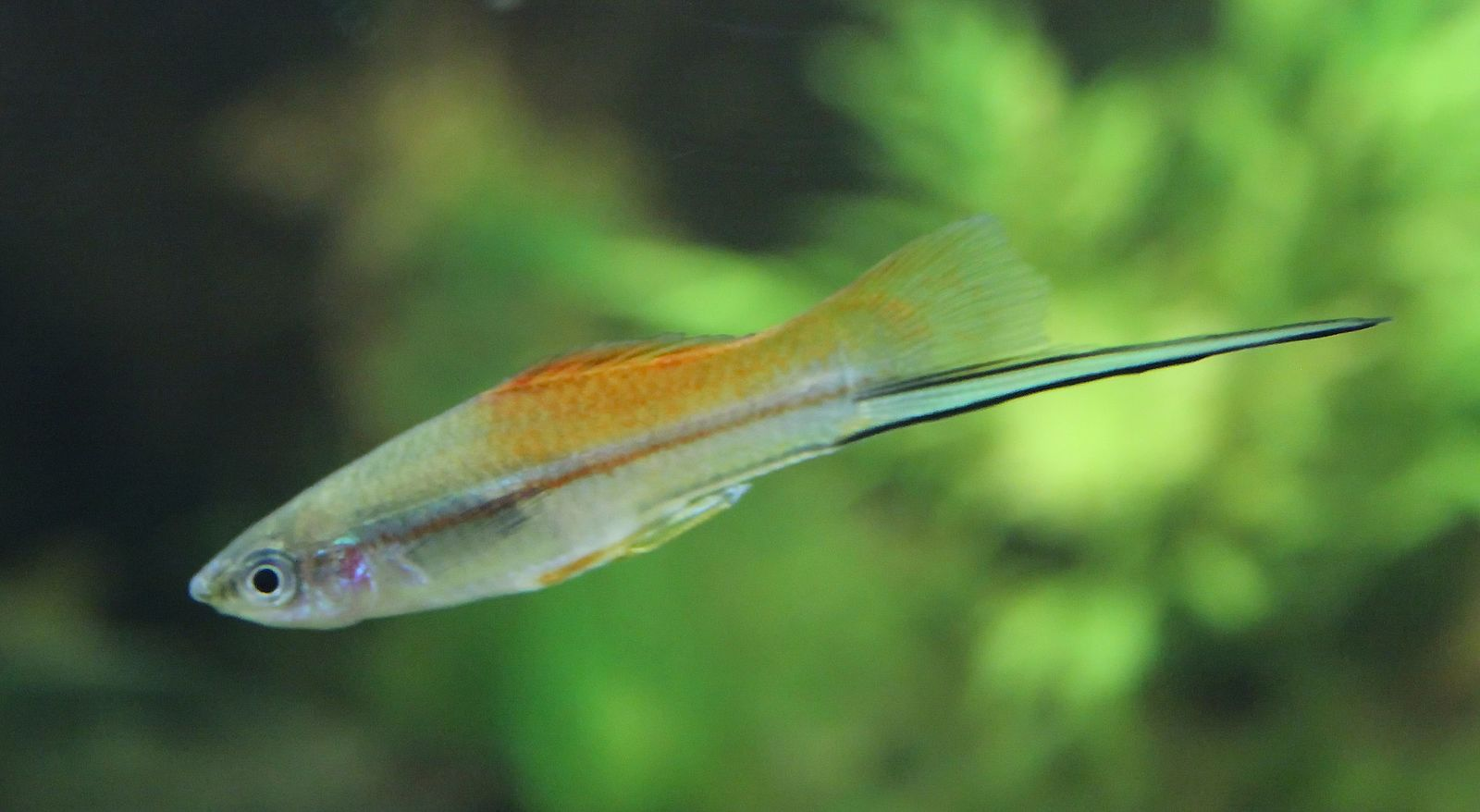 The green swordtail, Xiphophorus helleri.